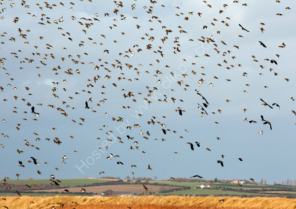 Plovers and Lapwings at Oare
