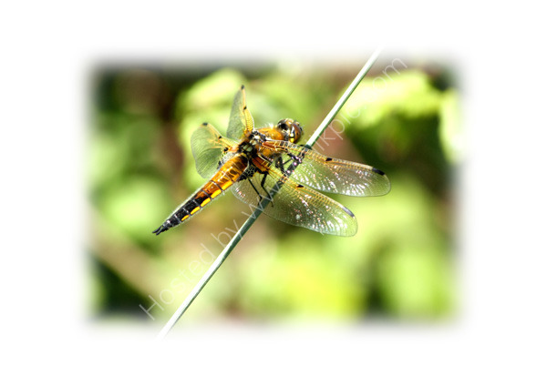 Four Spotted Chaser at Oare - 1