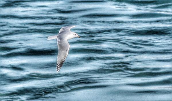 Gull-1-3