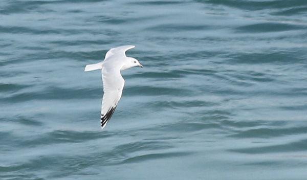 Gull-1-4