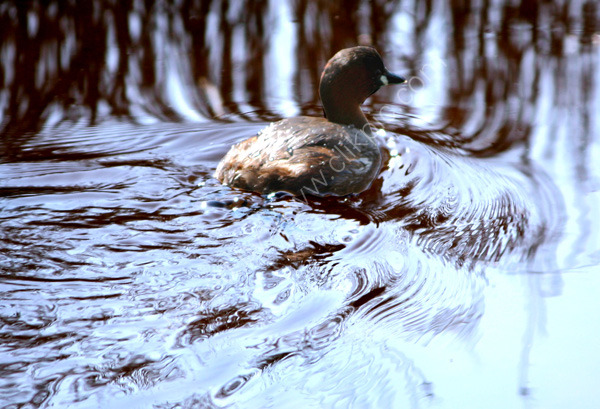 Little Grebe at Oare Marshes - 1