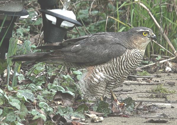 Sparrow Hawk 1-(292)-Watercolour Blurred 2