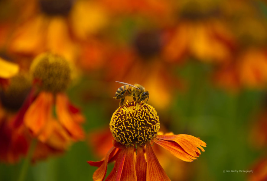 Nature : Working Bee and Echinacea