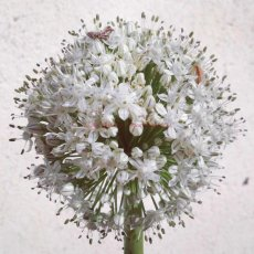White Flower : Grabouw, South Africa