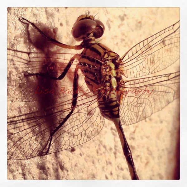 Dragonfly : delicate nature!