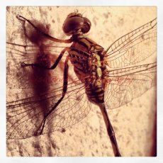 Dragonfly : Doha, Qatar
