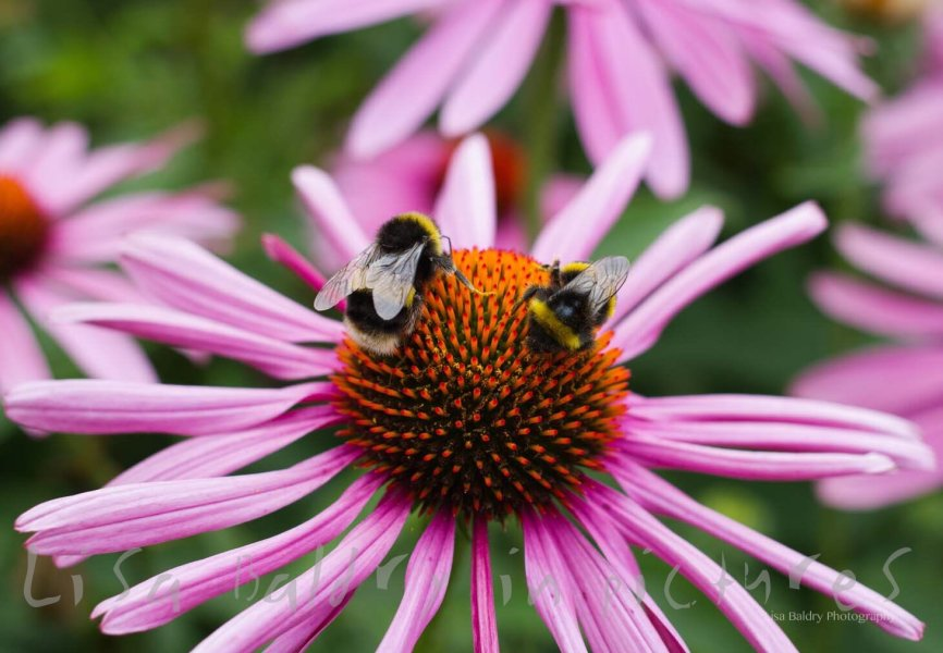 Nature : Bee season is back at Wisley Gardens.