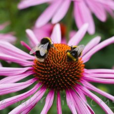 Bee season is back! Echinacea and bees at Wisley Gardens.