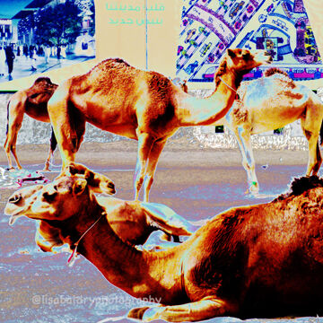 Desert Life : Souq camels