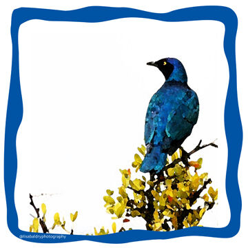Lamprotornis : Blue Bird Cape Town