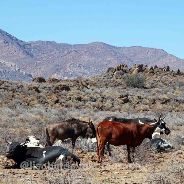 Nature : Zulu Cattle, Kleinkaroo, Anysberg Nature Reserve, South Africa