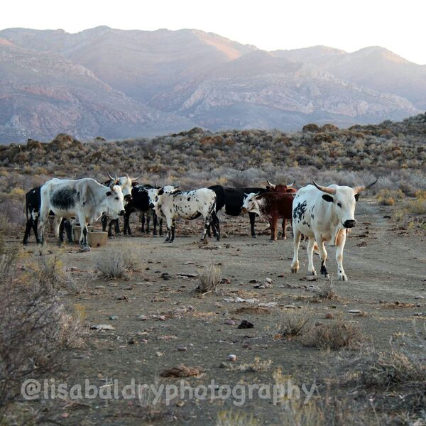 Nature : Zulu Cattle, Kleinkaroo, Anysberg Nature Reserve, South Africa