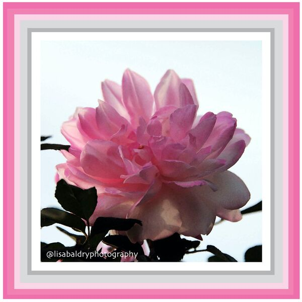 Pink Rose : Watercolour