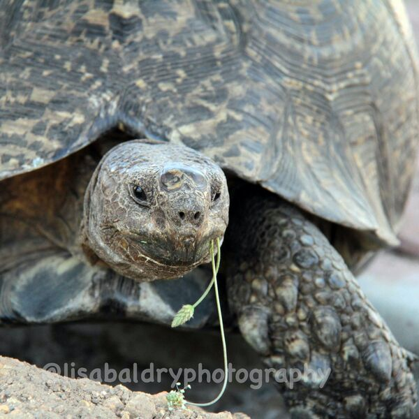 Nature : Tortoise - Helderberg Nature Reserve
