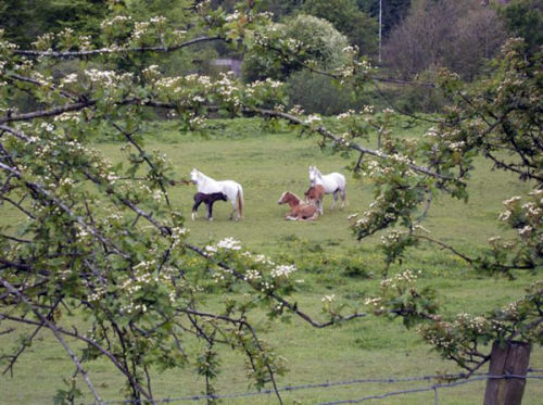 Ponies grazing in fields near Riverview Holiday Park.