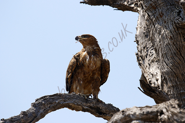 """Brown Snake Eagle"""