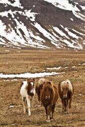 """Icelandic Ponies"""