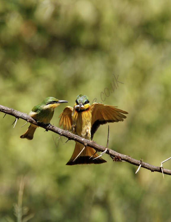 """Little Bee-Eaters"""