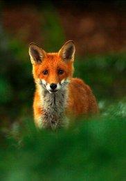 """Mr Fox"""