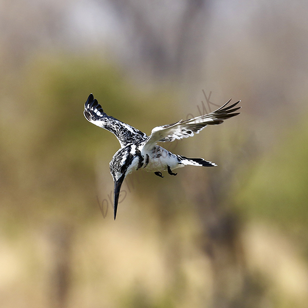 """Pied Kingfisher"""