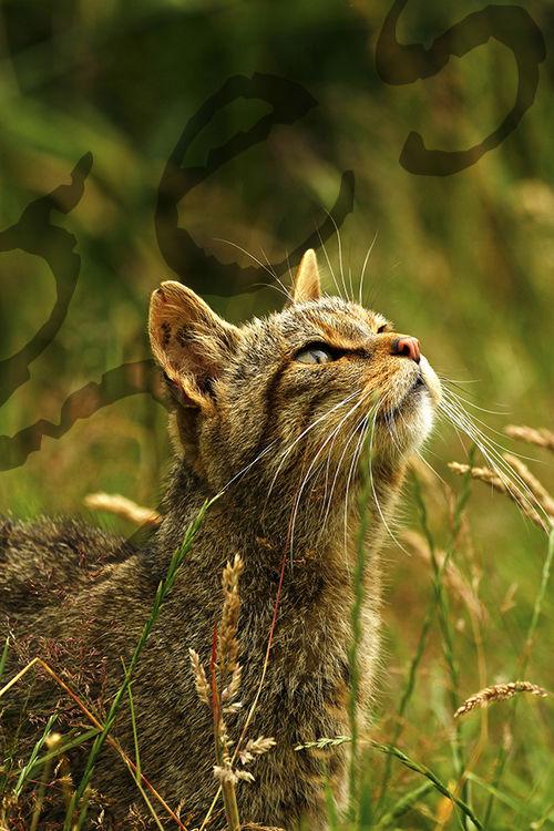 """""""Scottish Wild Cat 111"""""""