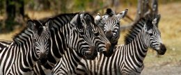 """Zebra Crossing"""