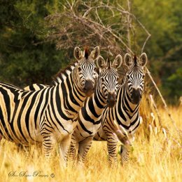 """Trio of Wild Stripes"""