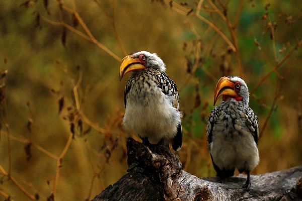 """Yellow-billed Hornbills"""