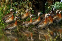 """Whistling White-faced Ducks"""