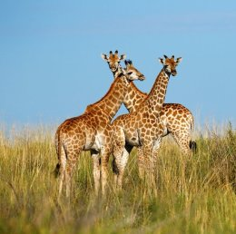 """Giraffe babies in the Kalahari Desert"""