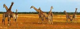 """Kalahari Giraffes"""
