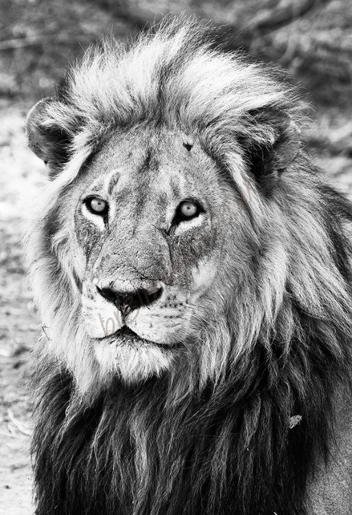 """Lion King"" B&W"