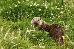 """""""Otter"""""""