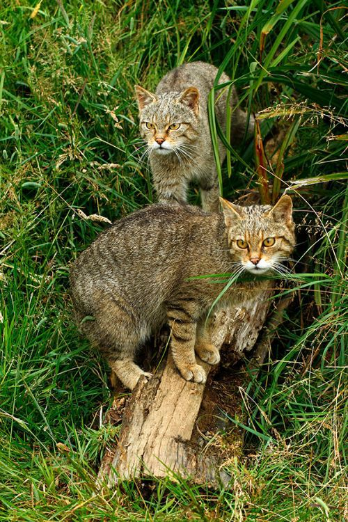 """Scottish Wild Cats"""