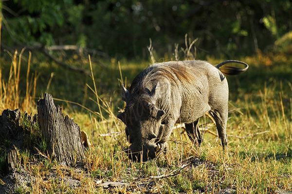 """""""African Wart Hog"""""""