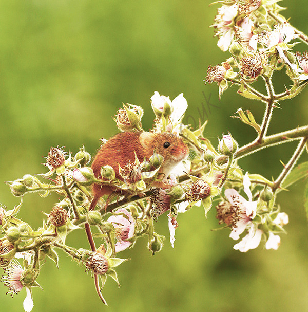 """Tiny Harvest Mouse"""