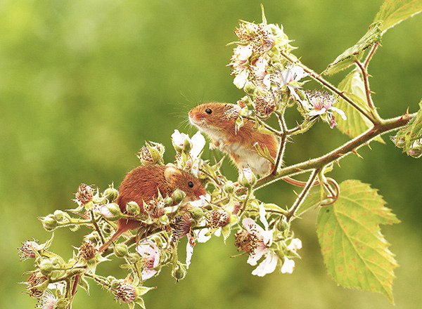"""Tiny Harvest Mice"""