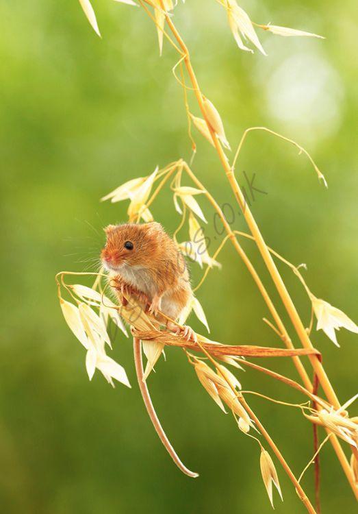 """""""Tiny Harvest Mouse"""""""
