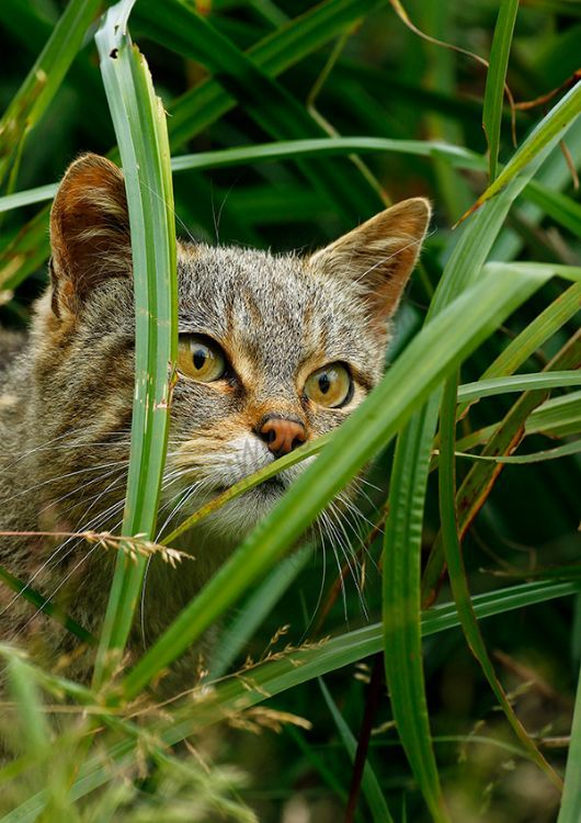 """Scottish Wild Cat"""