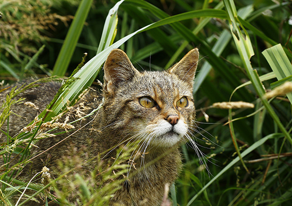 """Scottish Wild Cat II"""