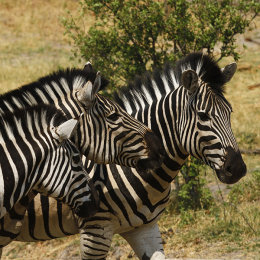 """Plains Zebra"""