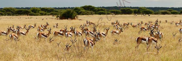 """""""Springbok Herd"""""""