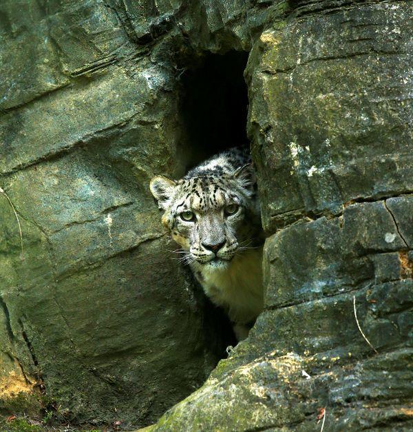 """Snow Leopard II"""