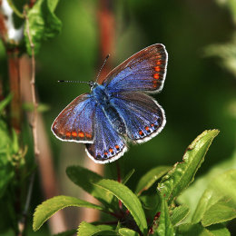 """Adonis Blue Butterfly"""