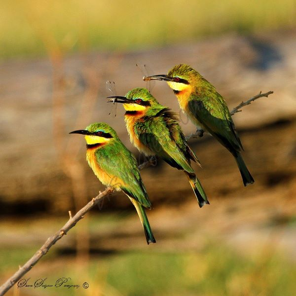 """Trio of Little Bee-eaters"""