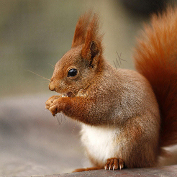 """Tufty The Red Squirrel"""