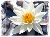 First Place 'Water Lily' by Anita Fullerton