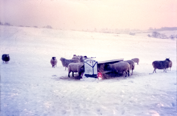 Sheep in the snow. Taken at the end of Ironmould Lane, Brislington January 1962
