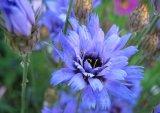 'Giant Cornflower'