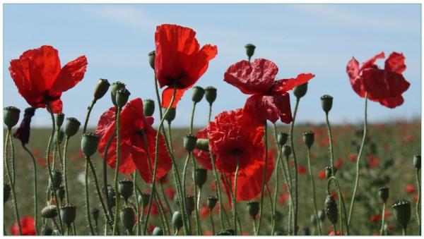 'Poppies.